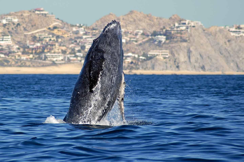 Fotografía de una ballena jorobada saliendo del mar