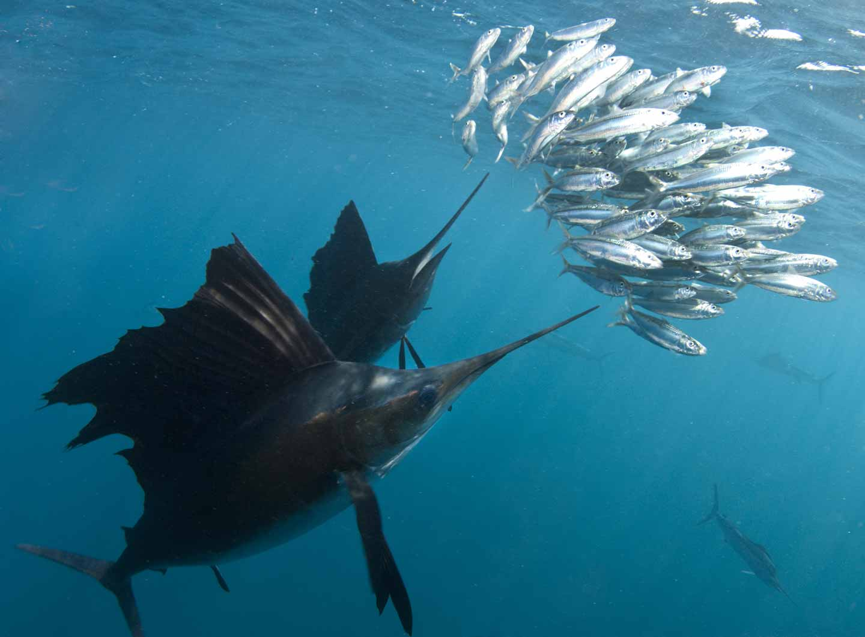 Fotografía de pez vela con cebo