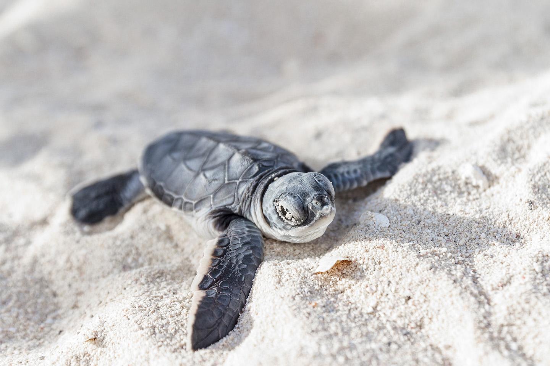 Liberación de tortugas en el mar.