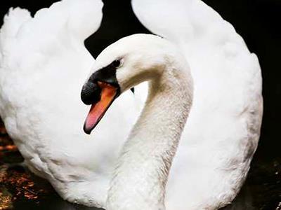 Cisnes Residentes